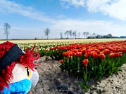 Blu & die ersten Tulpenfelder