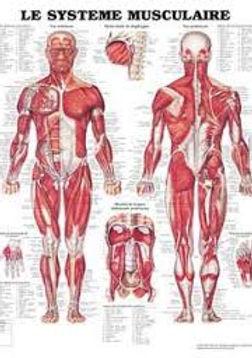 Muscles charte.jpg