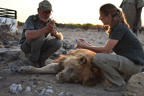 Taking blood samples during lion collari