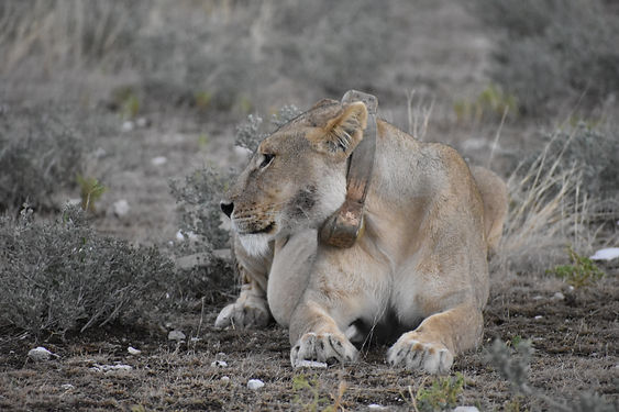 Lioness with GPS collar in Etosha National Park