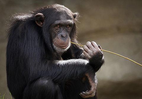 chimpanzee-3703230_1920.jpg