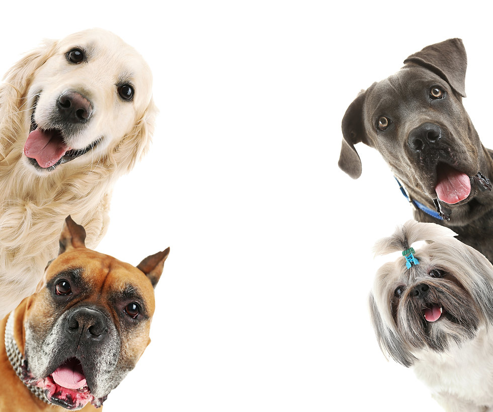 Dogs isolated on white.jpg