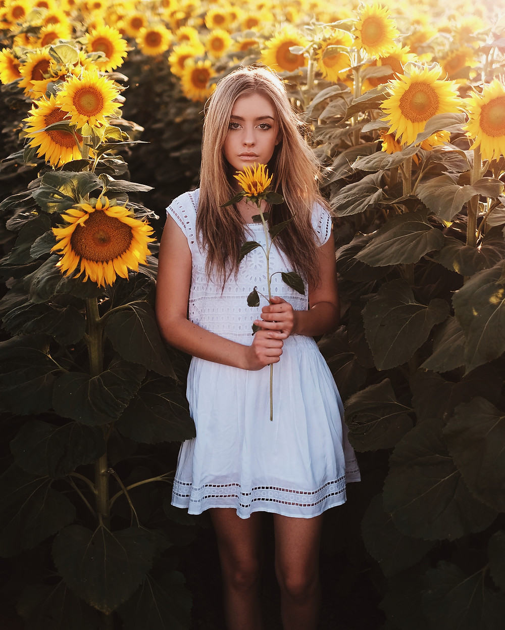 sunflowers backlight