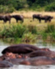 Hippos-and-Buffaloes-MFNP.jpg