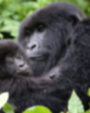 Mountain gorillas in Bwindi.jpg