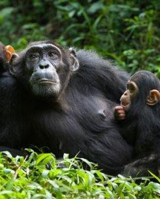 three-chimpanzee-trekking-sessions-in-Ki