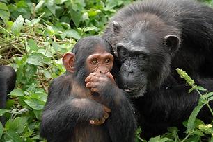 chimpanzees on Ngamba Island.jpg