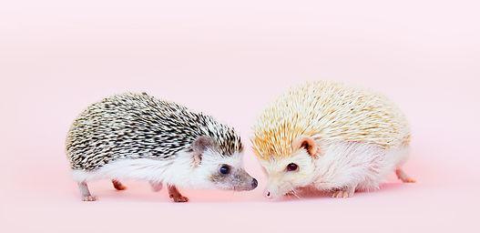 hedgehogcafe.jpg