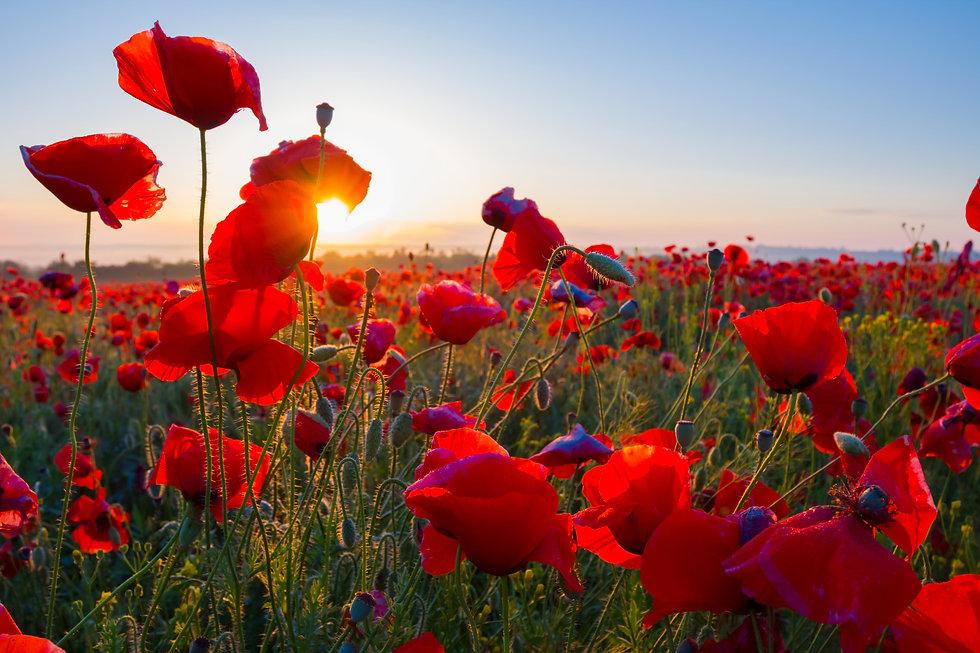 early morning red poppy field scene.jpg