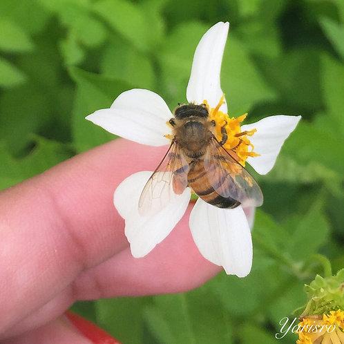 Puerto Rico Honey Bee Preservation