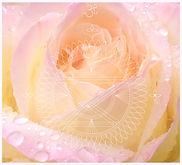 20200606 Rose mit SC 60 x 50 cm weiss.jp