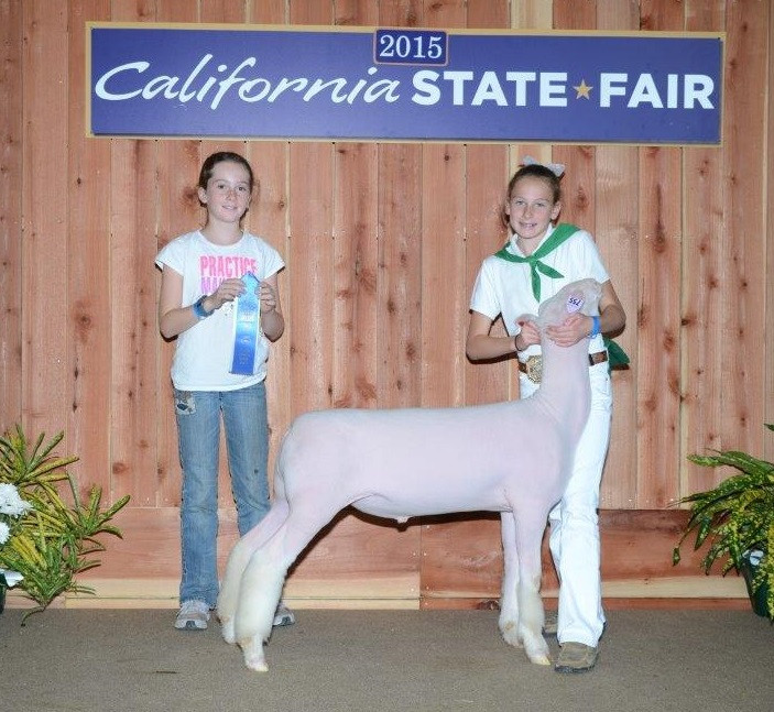 Dorset Class Winner 2015 California State Fair Shown by Julia Bayne Sired by Witness