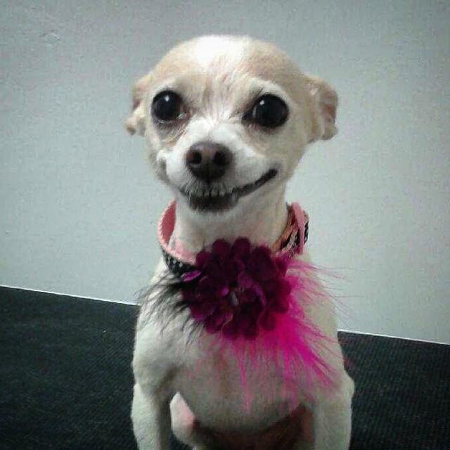 Instagram - Luna at #doggievip DOGGIE VIP MAKES ME HAPPY #happydog #smilingdog #