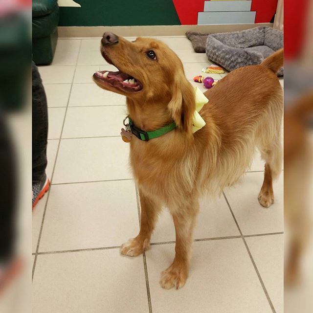 Instagram - DOGGIE VIP MAKES ME HAPPY @doggievip #happydog #goldenlab #smilingdo