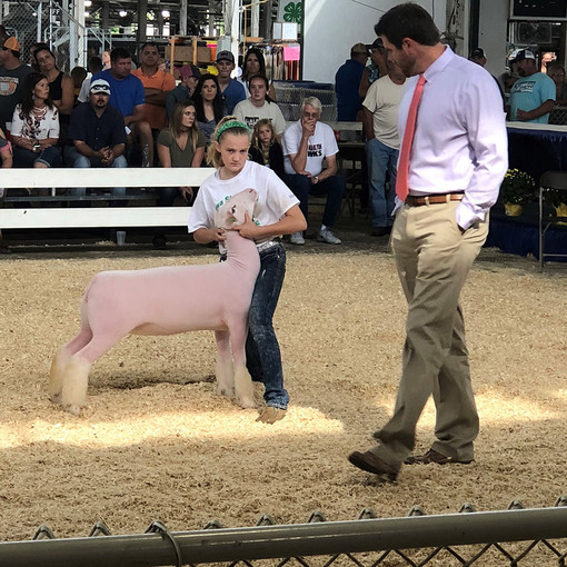 Champion White Face Influence Commercial Ewe 2018 Iowa State Fair Shown by Sawyer Morrical Shoot Yeah x Witness