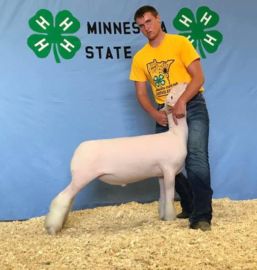 Dorset Class Winner 2019 Minnesota State Fair  Shown By: Russell Hellendrung  Sire: Colorblind