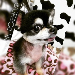 Instagram - @doggievip #dogdaycare #dogwalkers #doglover #puppies #chihuahua #ch