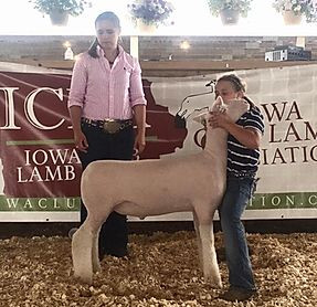 5th Overall Market Lamb - Floyd Cty Open Show Champion Whiteface