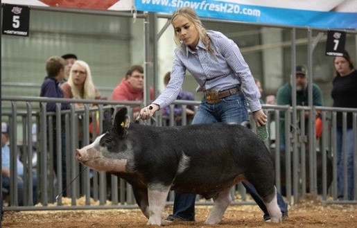 Haddie Tyson  Class winning barrow American Royal  Sired by : Stressed Out 70-1