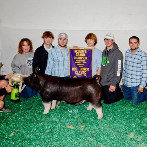 Res. grand purebred barrow & champion Berk  National Barrow Show  Wyatt Martin Sired by : Non-Stop 48-1  Bred by : Beaman Show Stock