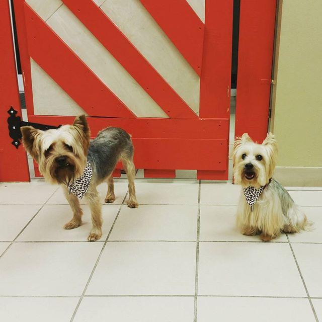 Instagram - @doggievip #yorkie #dogdaycare #dogwalkers #doglover #puppies #yorki