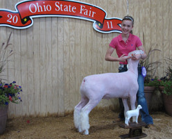 Champion Dorset Market Lamb 2011 Ohio State Fair Shown by Meg Winters Placed by Eric Shellhouse Sired by White Noise