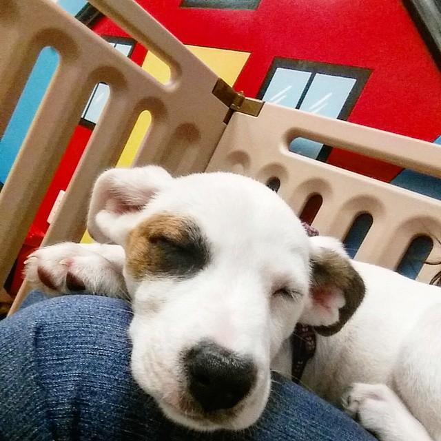 Instagram - Nala @doggievip #naptime #happydog #husky #huskylove #huskymix #dogd