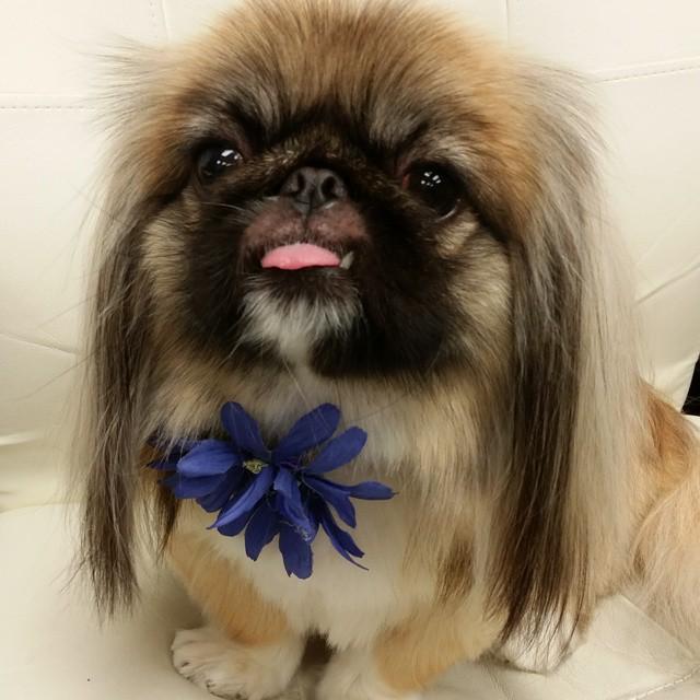 Instagram - DOGGIE VIP MAKES ME HAPPY @doggievip #happydog #pekegnese #smailingd