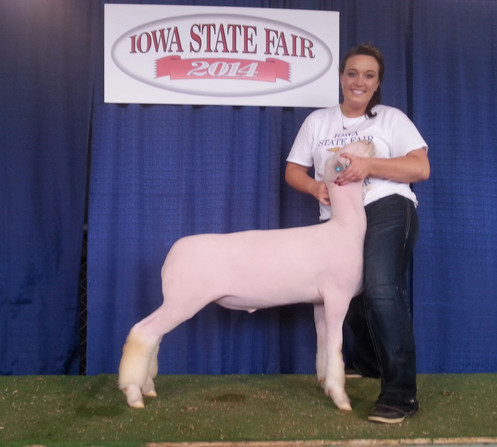 Champion Whiteface Market Lamb 2014 Iowa State Fair FFA Show Congratulations Chelsea Nelson Sired by Witness