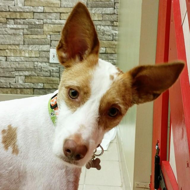 Instagram - @doggievip #happydog #podenco #dogdaycare #dogwalkers #doglover #pup
