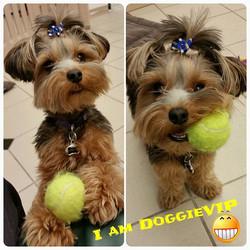 Instagram - Lolita @doggievip #iamdoggievip #happydog #yorkiesofinstagram #yorki