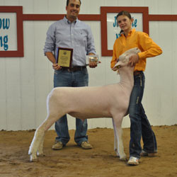 Champion Dorset 2012 San Juan County Fair  Shown by Sidney Stock Sired by White Noise