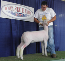 Champion White Face Market Ewe  2011 Iowa State Fair FFA Show Shown by Andrew Enfield Sired by White Noise