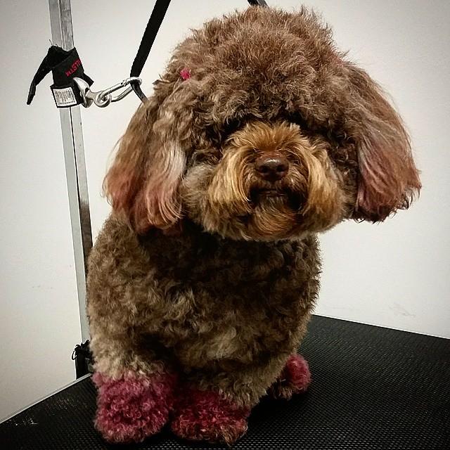 Instagram - @doggievip #dogdaycare  #happydog #poodle #dogwalkers #doglover #pup