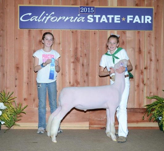 Class Winner  2014 Tulsa State Fair Shown by Taylor McGill Sired by Witness
