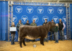 Champion Shorthorn Heifer OYE - Brooklyn