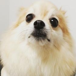 Instagram - DOGGIE VIP MAKES ME HAPPY @doggievip #happydog #pomeranian #dogdayca