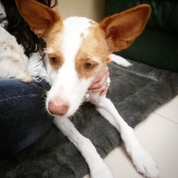 Instagram - @doggievip #happydog #podenco #smilingdog #dogdaycare #dogwalkers #d