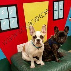 Instagram - Bianka & Nigel #frenchbulldog @doggievip #dogdaycare #dogwalkers #do