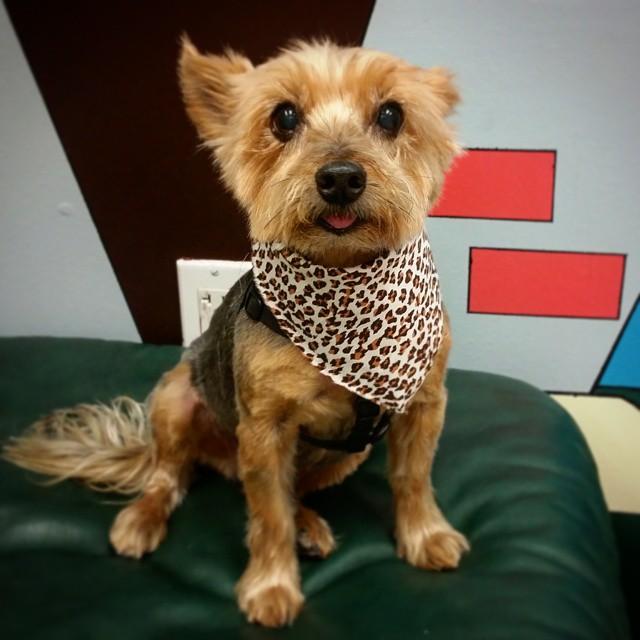 Instagram - @doggievip #happydog #yorkiesofinstagram #yorkie #yorkshire #yorkiel