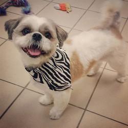 Instagram - @doggievip #bostonterrier #dogdaycare #dogwalkers #doglover #shitzu