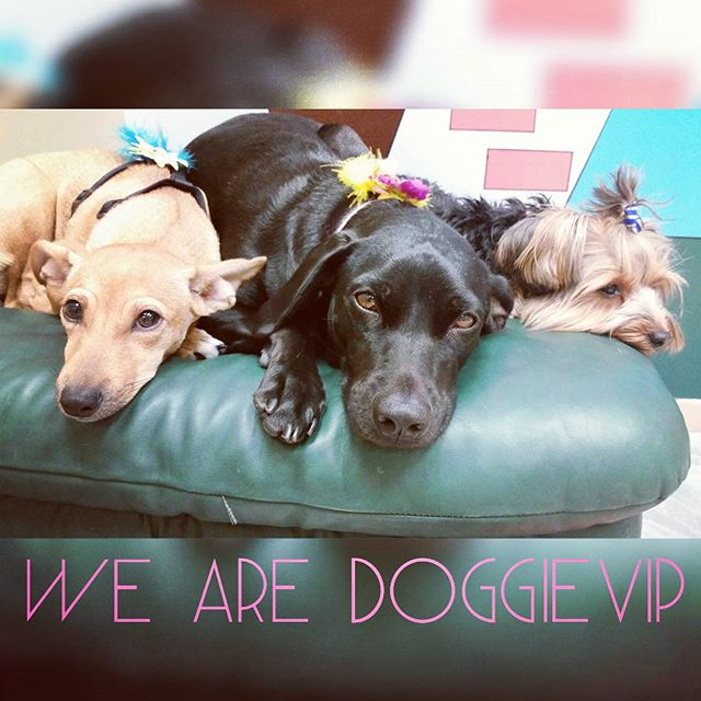 Instagram - Milan, Pancake and Lolita @doggievip where your pooch is pampered #h