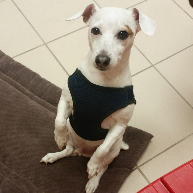Instagram - Pooh @doggievip #happydog #jackrussell #dogdaycare #petlovers #adora