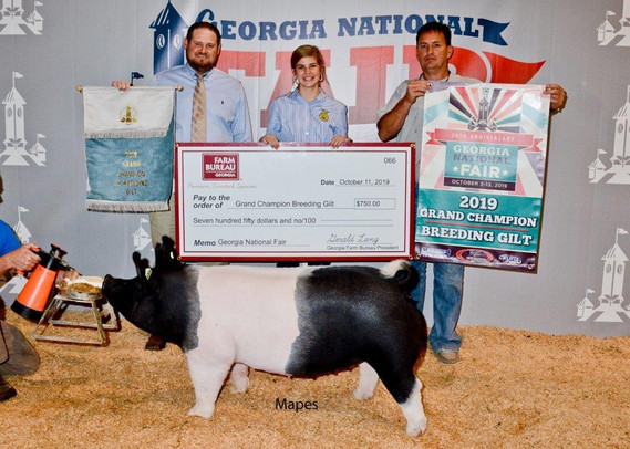 Grand Champion Breeding Gilt  Georgia National Fair  Shown by: Carolyne Turner  Sired by dirty Love'n