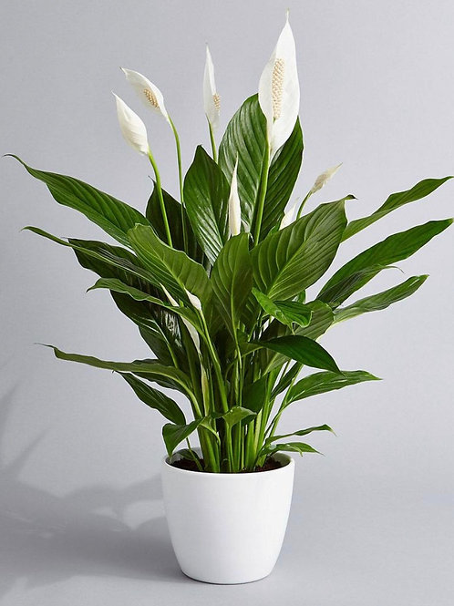 Peace Lily - 6 inch