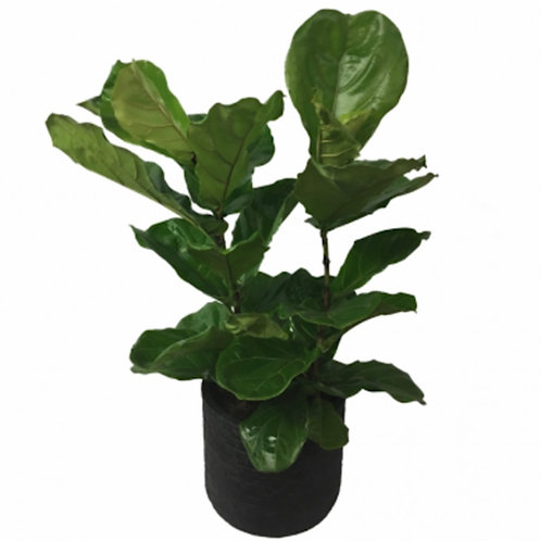 Fiddle Fig - 8 inch