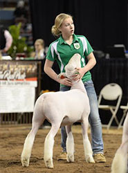 2nd Place Dorset 2016 Oklahoma Youth Expo Shown by Lexi Anderson Sired by Witness