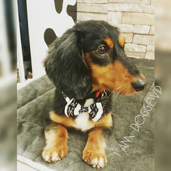 Instagram - @doggievip #happydog #daschund #daschundsofinstagram #smilingdog #do