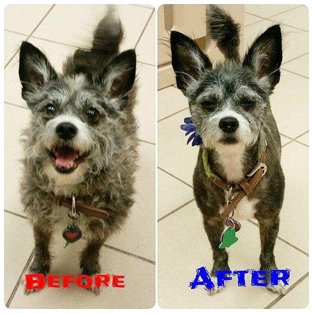Instagram - Sherry @doggievip #dogmakeover #transformation #happydog #smilingdog
