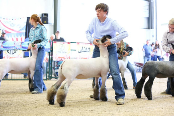 Reserve Grand Champion Commercial Ewe Beatty's Invest in the Best Genetic Showcase Sired By: Strictly Business Shown By: Weston Stevens